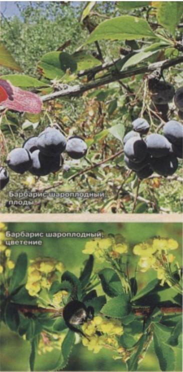 шароплодный барбарис