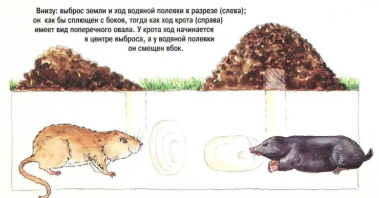 крот и водяная крыса