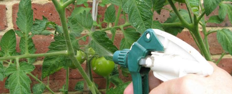 опрыскивание рассады томатов от паутинного клеща