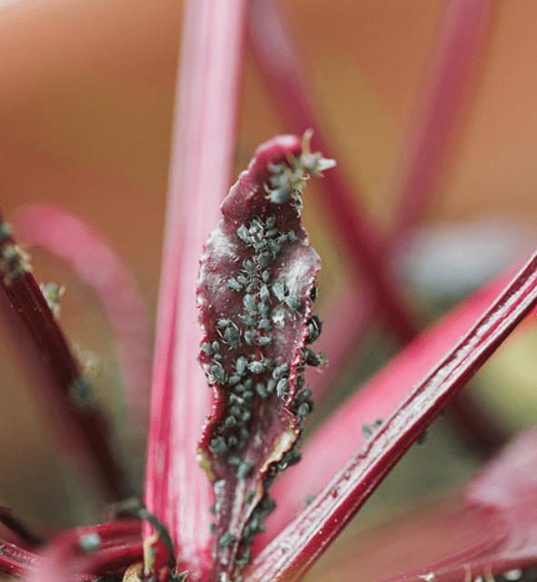 Посадка свёклы рассадой в открытый грунт