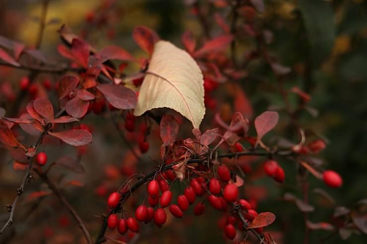барбарис осенью