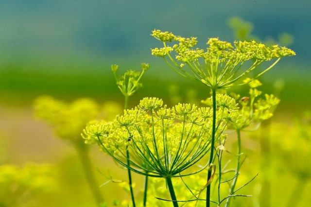 фенхель цветёт