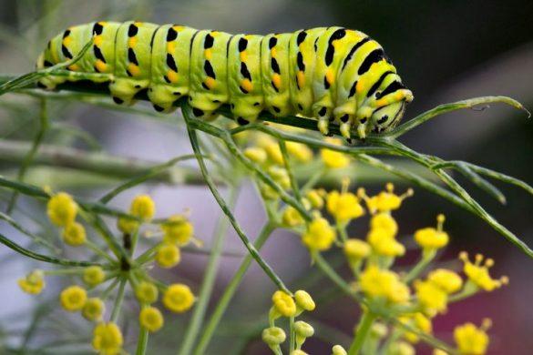 Гусеница бабочки-махаона