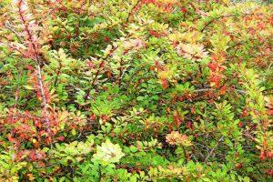 барбарис в саду выращивание и уход