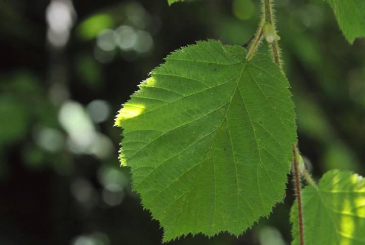 лист лесного ореха лещины