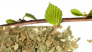 листья лещины польза и вред