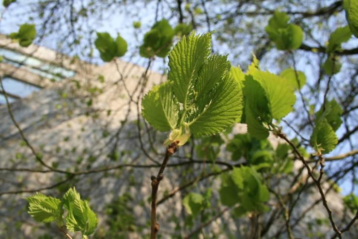 молодые листья лещины