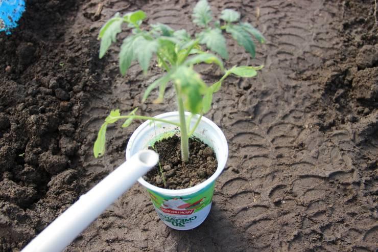 подкормка томатов Агриколой