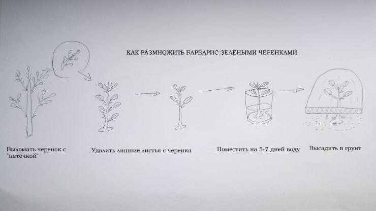 размножение барбариса зелеными черенками схема
