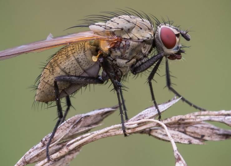 взрослая луковая муха
