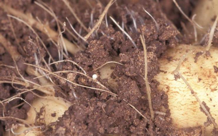 нематода на корнях