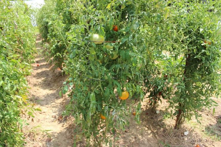 растения томатов
