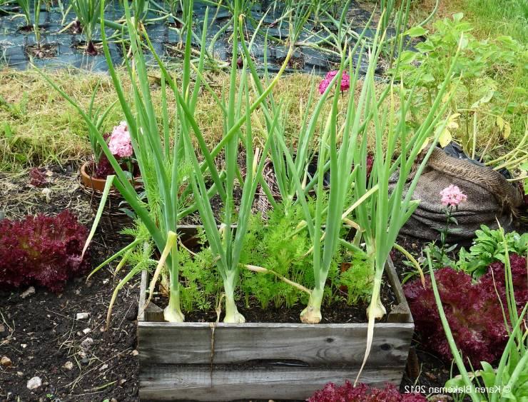 совместные посадки лука с морковью