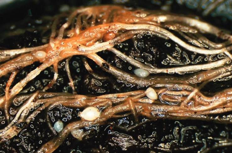 корни поражены нематодой