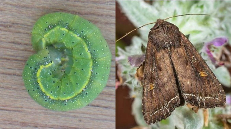 гусеница и бабочка огородной совки