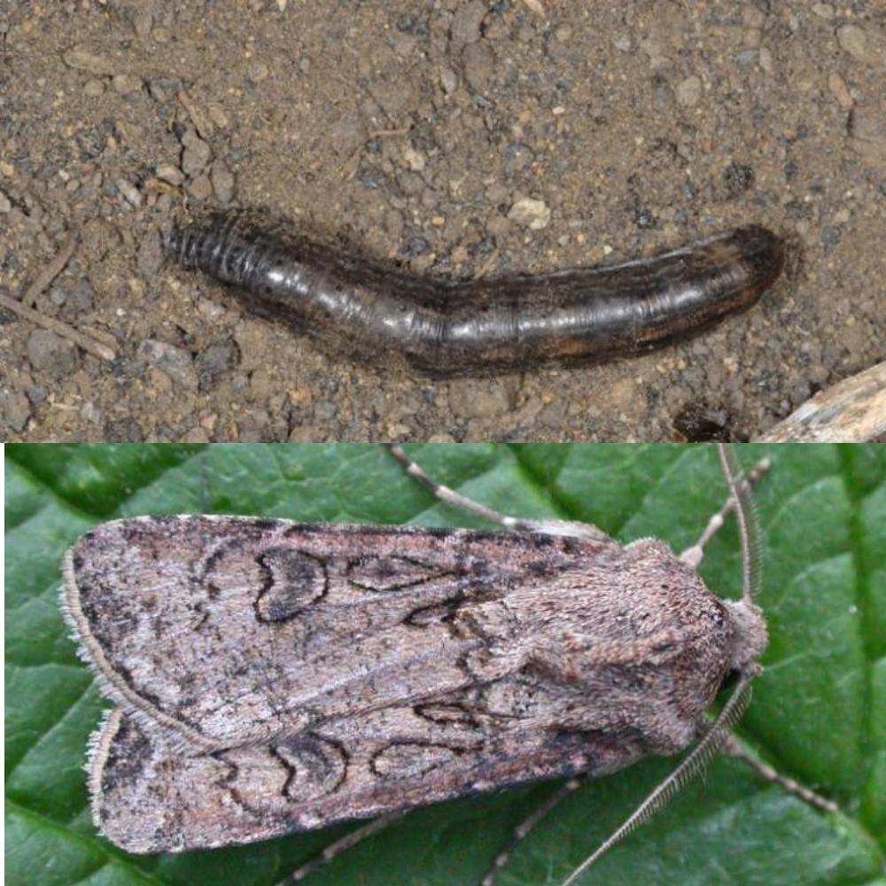 Гусеница и бабочка озимой совки