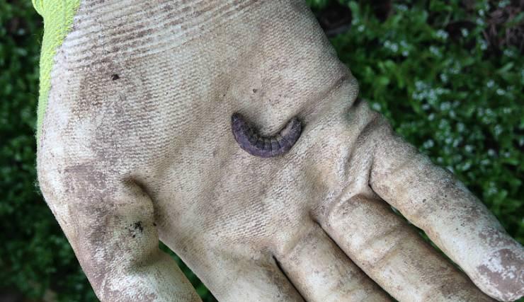гусеница совки на ладони