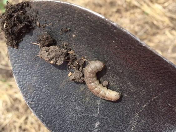 гусеница совки на лопатке