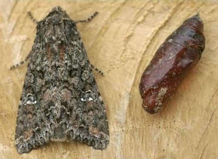 капустная совка бабочка и куколка