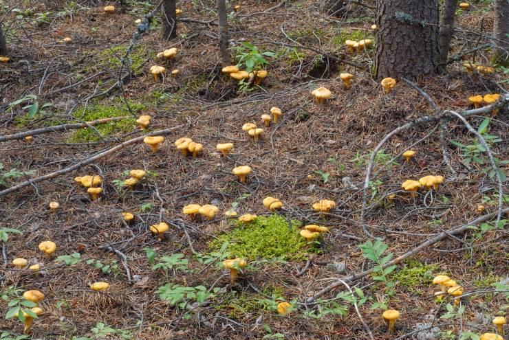 лисички в лесу