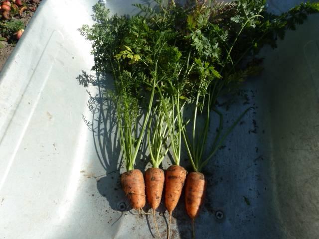 морковь на пучок