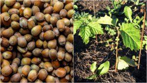 Как посадить фундук из ореха