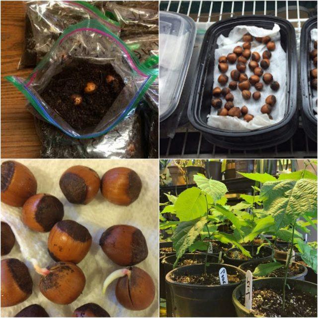 размножение фундука орехами