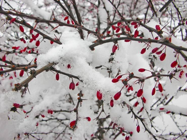 барбарис зимой