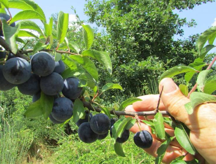 тернослива с плодами