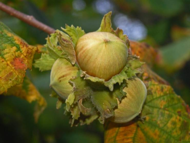 зрелые плоды лесного ореха