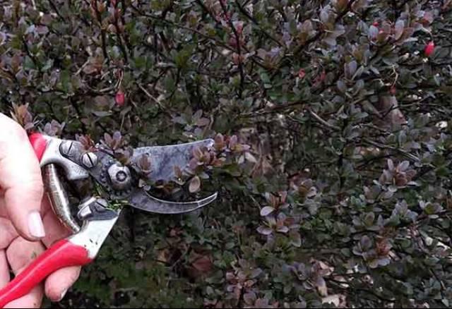 как обрезать барбарис осенью