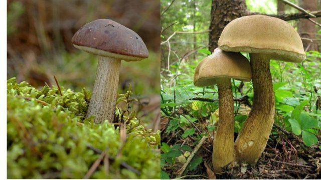 подберёзовик и жёлчный гриб