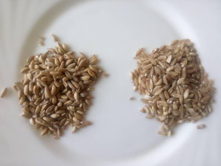 два вида полбы для проращивания