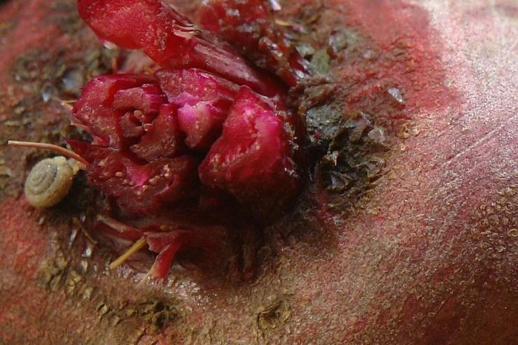 корнеплод свёклы после обрезки